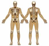 Human skeleton on flat body background — Stock Vector