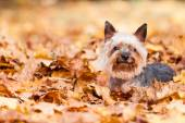 Yorkshire terrier Dog — Stock Photo