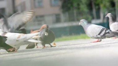Feeding pigeons — Stock Video