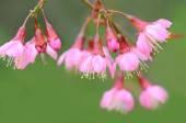 Cherry blossom, sakura flowers isolated on white background — Stock Photo