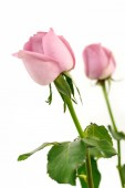 Pink roses isolate on white for valentine's day — Stock Photo