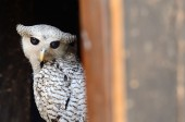 Bird on the best perch (Spot-bellied Eagle-Owl or Forest Eagle-O — Foto de Stock