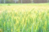 Barley rice field for blur background — Stock Photo