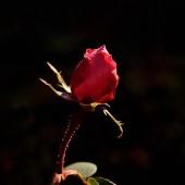 在黑色背景中的红玫瑰 — 图库照片