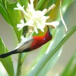 Beautiful red bird on the best perch. (Crimson sunbird) — Stock Photo #70257403