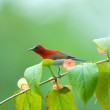 Beautiful red bird on the best perch. (Crimson sunbird) — Stock Photo #70257481