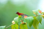 Beautiful red bird on the best perch. (Crimson sunbird) — Stok fotoğraf