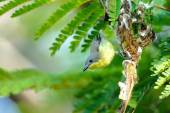 Golden-bellied Gerygone ,Bird in Mangrove forest  — Stock Photo