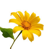 Sunflower blossom on white background — Stock Photo