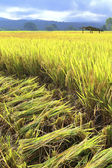 """Cutting rice in field"""" Reaping is the cutting of grain for harve — Stock Photo"""