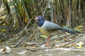 Coral-billed Ground Cuckoo.Beautiful bird on the earth — Stock Photo