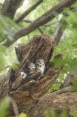 Spotted Owlet Beautiful bird in nest — Stock Photo