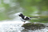 Bird and river (black-backed Forktail) perching on stone for bac — Stock Photo