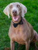 Elegant weymaraner dog in tie — ストック写真