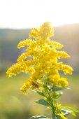 Yellow flower from autmn — Stock Photo
