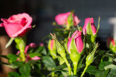 Pink Rose and rosebud in spring sunlights — Stock Photo