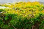Moss on rock - close up — Stock Photo