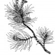 Pine branch with cones — Stock Photo #54509969