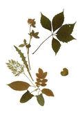 Dry herbarium plants — Stock Photo