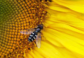 Hover-fly on a sunflower — Foto Stock