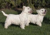 Cute westie puppies — Stock Photo