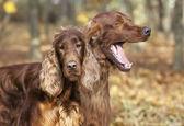 Funny Irish Setter pair — Stock Photo