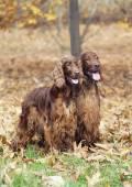 Beautiful Irish Setter pair — Stock Photo