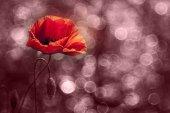 美丽的野生罂粟 — 图库照片