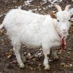 Goat — Stock Photo #71646637