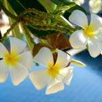 Plumeria flowers — Stock Photo #71649537