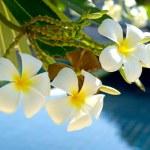 Plumeria flowers — Stock Photo #71649551