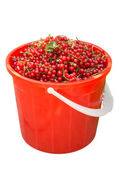 Red Currant basket isolated — Stock Photo