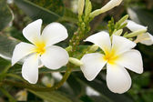 Tropical flowers - Frangipani — ストック写真