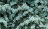 árbol de abeto azul — Foto de Stock