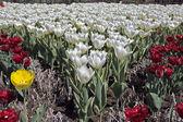 White tulips — Stock Photo