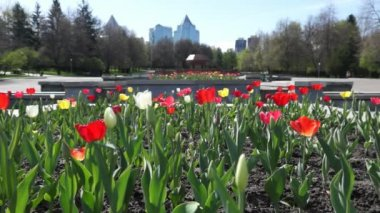 Red and white tulips in the city — Stock Video