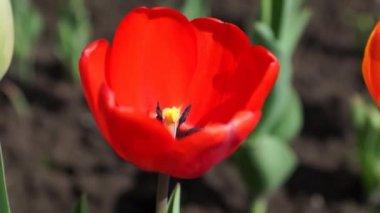 Red tulip — Stock Video