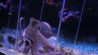 Monaco - Octopus moves in an aquarium — Stock Video