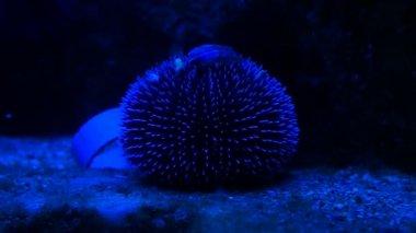 Monaco - Sea-urchin in blue deep water — Stock Video