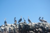 Pelicans on the rocks, Islas Ballestas, Peru — Stock Photo