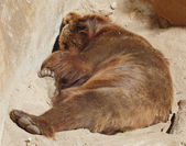 Brown bear sleeping in open-air cage of zoo — Stock Photo