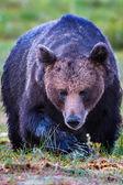 Large male brown bear approaching — Stok fotoğraf