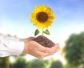 Mão segurando a flor do sol — Fotografia Stock