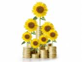 Sunflower and coins Money growth concept — Stock Photo