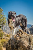 Border collie dog on rocky outcrop in Corsica — Stock Photo