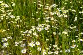 White daisies on a meadow — Foto de Stock