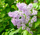 The blossoming lilac — Stock Photo