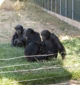 Family of chimps sitting on some green grass , relatives  — Stock Photo