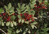 Shrub with lot of red berries on branches photo, mediterranean mastic bush pistachio on the tree — Stock Photo