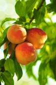 Grew on a peach tree branch beautiful peach fruit — Stock Photo
